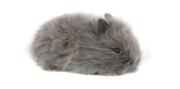 Conejo Enano mini