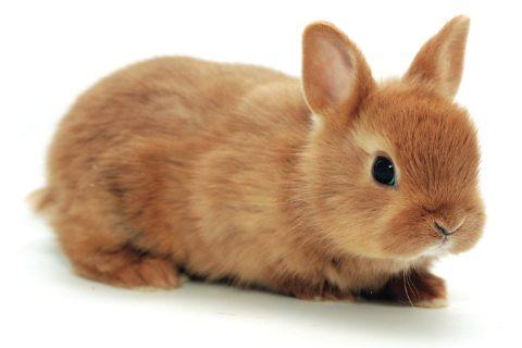 Conejo Enano Toy