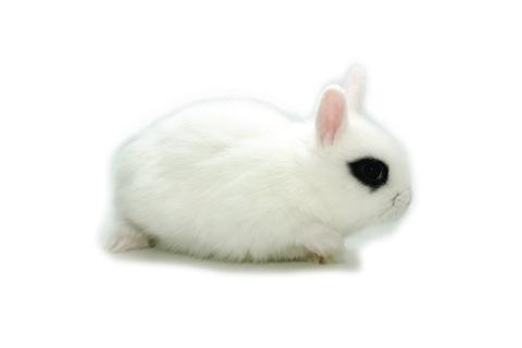 Conejo Enano Toy Hotot de Cunipic