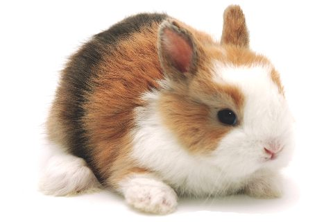 Conejo Enano Toy Tricolor Arlequín de Cunipic