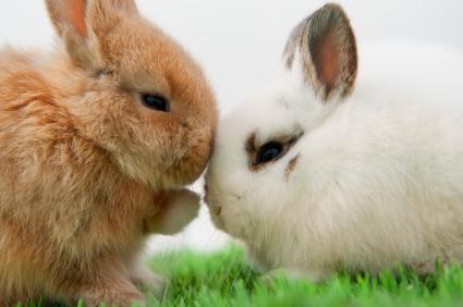 Conill vs conill