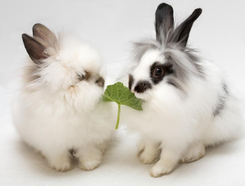 conill plantes toxiques